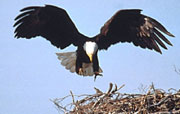Brevard County Natural Resources - Bald Eagle