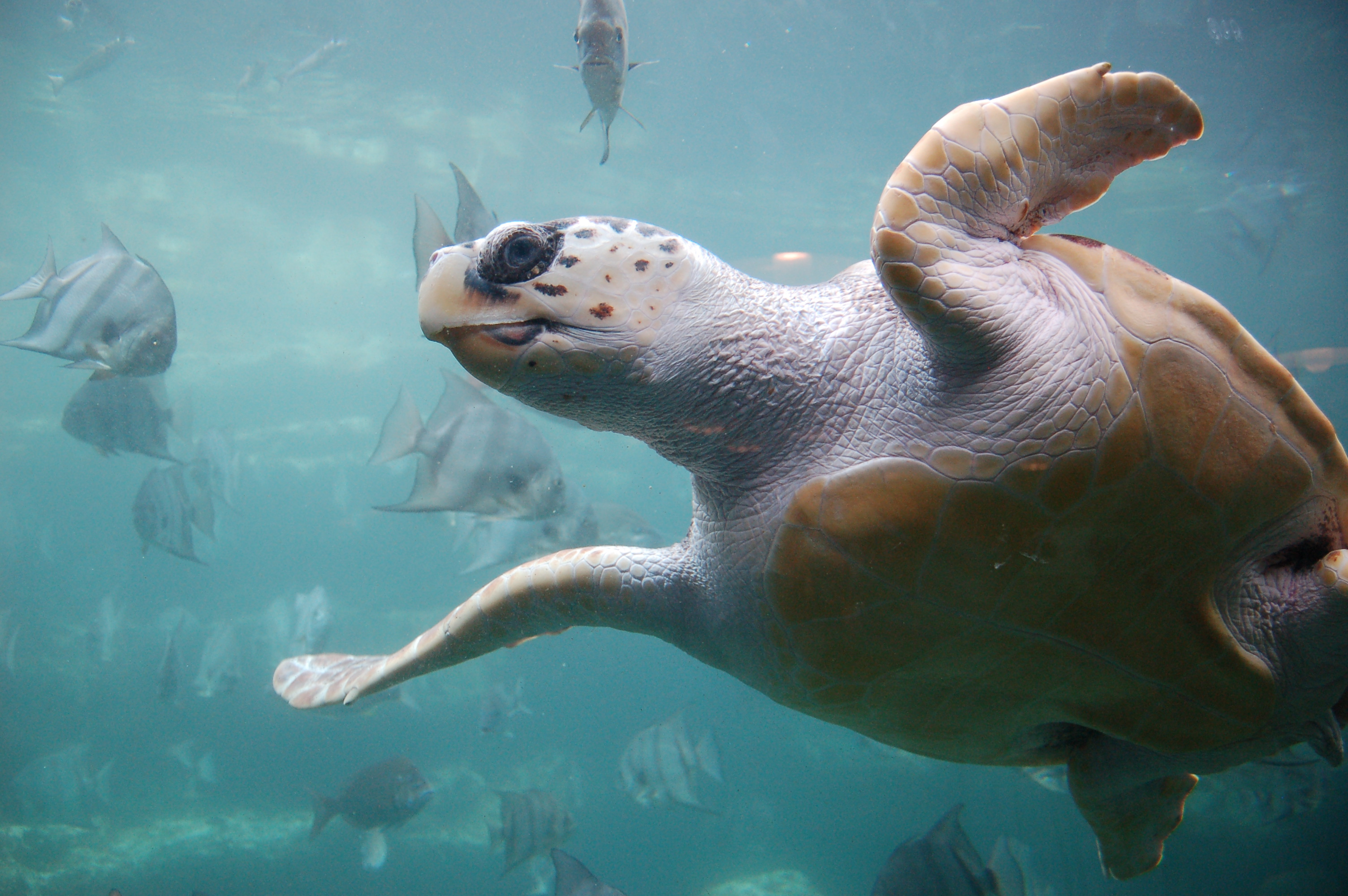 Brevard County Natural Resources - Loggerhead sea turtle