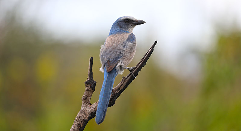 ScrubJay on single branch