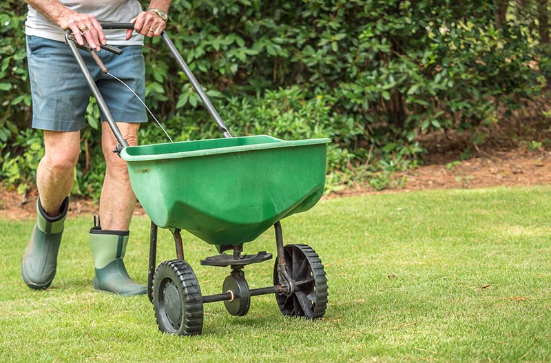Man in shorts fertilizing lawn with spreader.