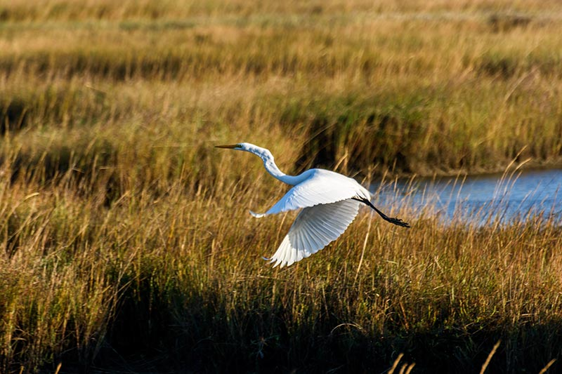 White Heron in flight over wetlands.